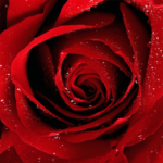 Roses Jigsaw Puzzles MOD  2.10.9
